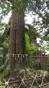 大杉と本殿。
